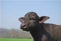 mozzarella di bufala,salame di bufala nella fattoria dei fratelli facchi ad oleggio,gelato di bufala in fattoria agrigelateria ad oleggio,fattoria didattica con le bufale