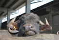 mozzarella di bufala ad oleggio in piemontesalame