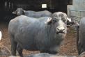 mozzarella di bufala ad oleggio in piemonte,salame di bufala nella fattoria dei fratelli facchi ad oleggio,gelato di bufala in fattoria agrigelateria ad oleggio,fattoria didattica con le bufale