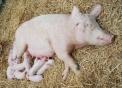 foto maiale,disegno di maiale da colorare,disegno di maialino da colorare,immagine di maialino,foto  scrofa con maialini,disegno scrofa da colorare