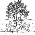 disegno da colorare di pianta di patate..disegno patate da colorare..disegno tuberi di patate da colorare..disegni ortaggi da colorare per bambini gratis