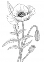 disegno fiore da colorare..fiore di papavero da colorare..fiorellino da colorare per bambini..prato di fiori da colorare..disegno pianta con fiori da colorare