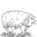 disegno pecora da colorare..disegno pecora con agnello da colorare..agnellino da colorare..pecorella da colorare..ariete da colorare in fattoria didattica