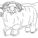 disegno ariete da colorare..disegno montone da colorare..pecora da colorare..agnellino da colorare..agnello..pecorella disegno