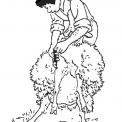 disegno tosatura delle pecore da colorare..disegno pecora che viene tosata da colorare..disegno ariete da colorare..disegno montone da colorare..agnello..agnellino disegno