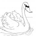 disegno cigno nello stagno da colorare..disegno cigno nel lago da colorare per bambini..disegno pulcini di cigno da colorare
