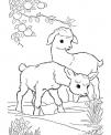 disegno caprette che saltano da colorare..disegno capre di montagna da colorare..capre razza saanen capre razza camosciata da colorare
