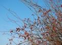 immagine di piccoli frutti selvatici..foto fi frutti selvatici rosa canina..la rosa canina produce frutti rossi e commestibili..fattorie didattiche