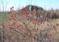 immagine di cespuglio di piccoli frutti selvatici di viburno..foto di piccoli frutti nutrimento per tanti uccelli in inverno..fattorie didattiche nel bosco