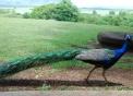 foto di pavone..immagine di pavone maschio con coda colorata..cosa mangia il pavone?dove vive il pavone?sul sito bambiniinfattoria e lo saprai..