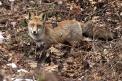 volpe immagine,volpe nel bosco,fattoria volpe,tana con volpe,agriturismo volpe,volpe a caccia,laboratorio didattico per bambini animali del bosco