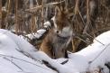 volpe nel bosco,foto di volpe,immagine di volpe a caccia,tana di volpe nel bosco,volpe in fattoria,volpe cosa mangia,volpe con pelo lungo,volpe nel pollaio