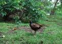 foto di fagianoimmagine di un maschio di fagiano