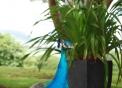 foto di pavone..immagine di pavone dal lungo collo colorato..il maschio del pavone ha una lunga coda..la ruota del pavone viene fatta solo dal maschio pavone per attirare le femmine di pavone