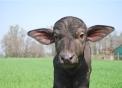 fattoria didattica con le bufale..didattica in fattoria dalle bufale in Piemonte..scuole in fattoria didattica in Provincia di Novara..agrigelateria in Piemonte..mozzarella di bufala a Novara