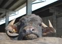 prodotti tipici di bufala..di sola bufala prodotti tipici piemontesi..mozzarella di bufala in piemonte con gelato di fattoria..fattoria didattica a Novara..didattica in fattoria per la provincia del verbano..yogurt di bufala