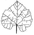 foglia da colorare..disegno di foglie del bosco da colorare..foglia di pianta da colorare..foglia di tiglio da colorare..foglie di piante vicino alla fattoria da colorare
