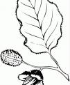 disegno foglia di faggio da colorare..disegno foglie degli alberi da colorare..foglia e aghi di pino e di abete da colorare
