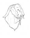 disegno testa di capra da colorare..testa di becco da colorare..caprone da colorare..capra razza nera di verzasca da colorare..capre di montagna in fattoria
