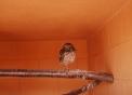immagine di civetta in fattoria didattica..civetta piccolo uccello rapace notturno utile all'agricoltura..fattorie didattiche in lombardia per bambini