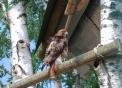 immagine di poiana..poiana uccello rapace diurno in fattoria didattica della lombardia..agriturismo con animali della fattoria e del bosco per bambini