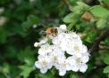 ape posata su un fiore..ape piena di polline e nettare sulle zampe..ape impollina i fiori della fattoria didattica