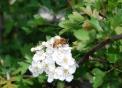 immagine di un ape posata su fiore..ape con polline e nettare sui fiori della fattoria didattica..fiore del prato con ape bottinatrice
