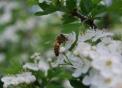 ape operaia posata su fiore per raccogliere il polline e il nettare del fiore..ape della fattoria didattica per bambini in provincia di milano