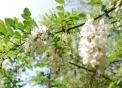 fiore di acacia di cui le api sono ghiottedai fi