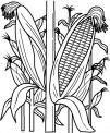 disegno mais da colorare..pannocchia da colorare..fattoria didattica frosinone..fattoria didattica viterbo