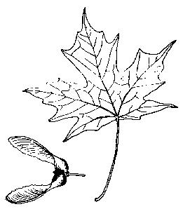 disegno foglia dacero da colorarefoglia del bos