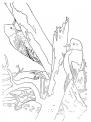 disegno picchio rosso da colorare..picchio cerca insetti col becco sull'albero da colorare..fattoria didattica parma