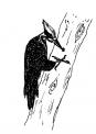 disegno picchio sulla pianta da colorare..il picchio uccello sul tronco da colorare..fattoria didattica la spezia