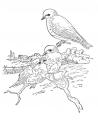 disegno tortora da colorare..piccione da colorare..uccello da colorare..fattoria didattica savona