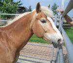 foto di animali della fattoria,fattorie didattiche:maiale,cavallo,puledro-stallone-cavalla ,il cavallo ha una lunga coda,il cavallo salta gli ostacoli,il puledrino è il piccolo del cavallo,bisogna bere il latte fresco appena munto,fattorie didattiche