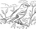 disegno uccellino da colorare..merlo da colorare..passero da colorare..fattoria didattica cuneo