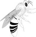 disegno vespa da colorare..calabrone da colorare..bombo da colorare..fattoria didattica provincia di milano