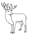 disegno cervo da colorare..muflone da colorare..camoscio da colorare..fattoria didattica in provincia di varese