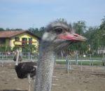 foto animali della fattoria,fattorie didattiche:struzzo-lo struzzo è l'uccello più grande del mondo e fà le uova più grandi del mondo.Bisogna bere latte fresco appena munto,latte fattoria