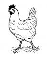 disegno pollastra da colorare..gallina uova da colorare..fattoria didattica della regione liguria