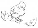 disegno pulcino uscito dall'uovo da colorare..pulcino mangia i semini da colorare..fattoria didattica della regione trentino