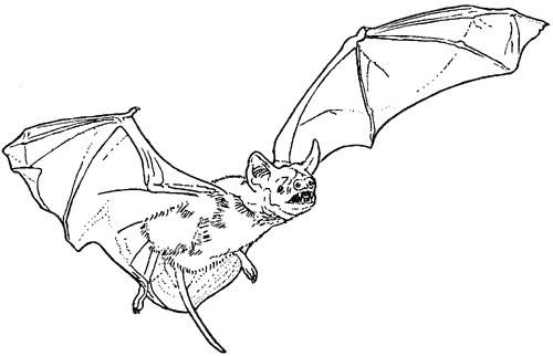Disegno Pipistrello Da Colorare Disegno Talpa Da Colorare