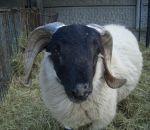 foto animali della fattoria,fattorie didattiche:pecora-l'ariete è il maschio della pecora ha grandi corna, bere latte fresco appena munto,agriturismo,latte,scuole in fattoria,disegni da colorare per bambini,fattorie didattiche