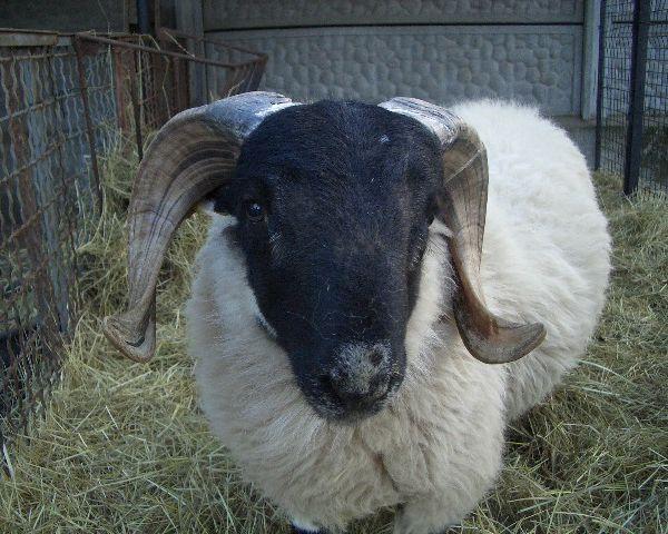 Immagini di Pecore e agnelli