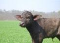 annutolo di bufala..bufalino della fattoria..immagine di bufalo in fattoria con animali..bufale al pascolo..mozzarella di bufala con latte fresco di bufala