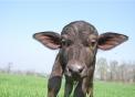 foto di bufalino..annutolo piccolo della bufala..bufale della fattoria didattica delle bufale..mozzarella di bufala con ottimo latte di bufala...bufalo di razza mediterranea..