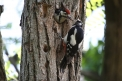 picchio rosso,immagine di picchio rosso maggiore,foto di picchio rosso,picchio sul tronco,picchio rosso che imbecca piccolo di picchio,picchio rosso nel bosco,nido di picchio sull'albero