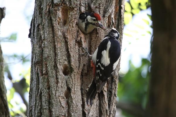 Animali che vivono nel bosco della fattoria animali del bosco for Il nido del picchio