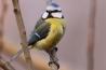 cinciarella,foto di cinciarella in fattoria,immagine di cinciarella sull albero della fattoria,cince uccelli curiosi,cinciarella con piumaggio colorato,cinciarella canto