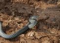 biscia della fattoria..immagine di serpente in una fattoria a caccia di topi..colubro un serpente innocuo vive nei prati vicino alla fattoria didattica..serpente che striscia mangia roditori quindi animale utile all'agricoltura..